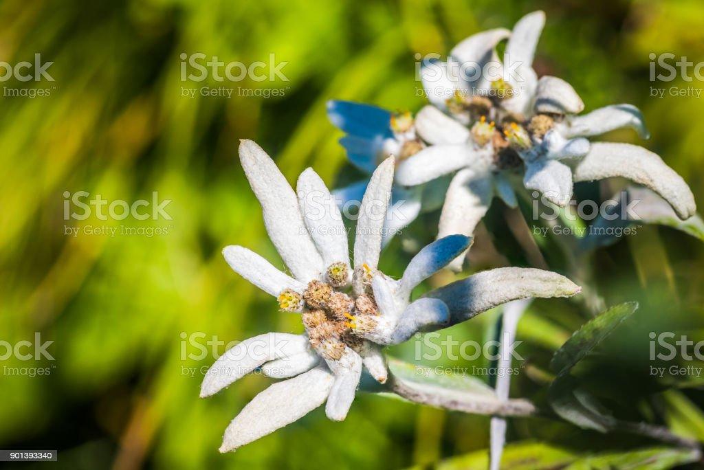 Rebun Island Edelweiss (Leontopodium discolor) stock photo