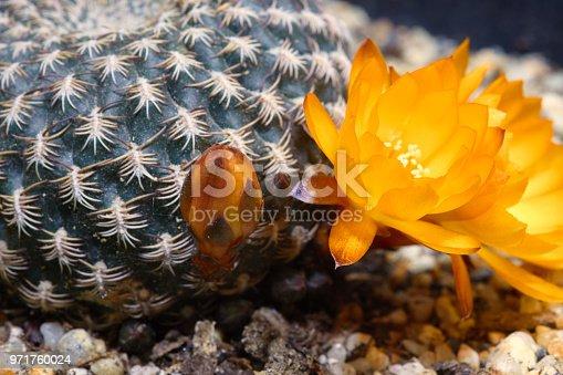 Rebutia Blüten cactus blossoms