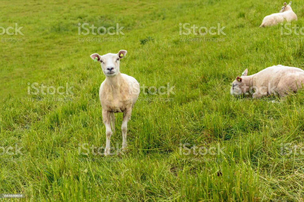 Recent shaved sheep proudly looks at the photographer stock photo