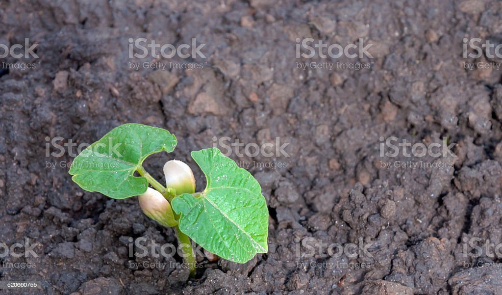 Recently sown seedling from a dry bean stock photo