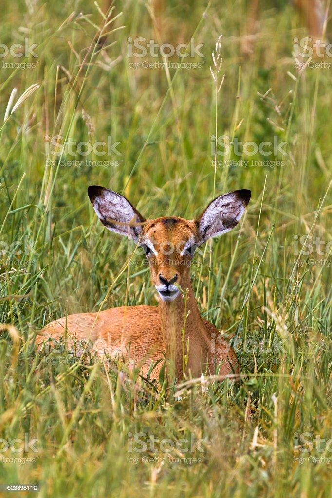 Reclining impala. At rest. Tarangire, Africa stock photo
