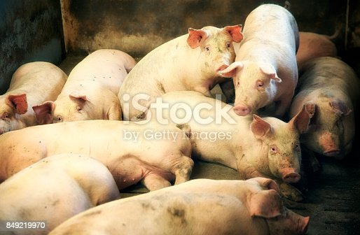 Group of sows ready to be inseminated.