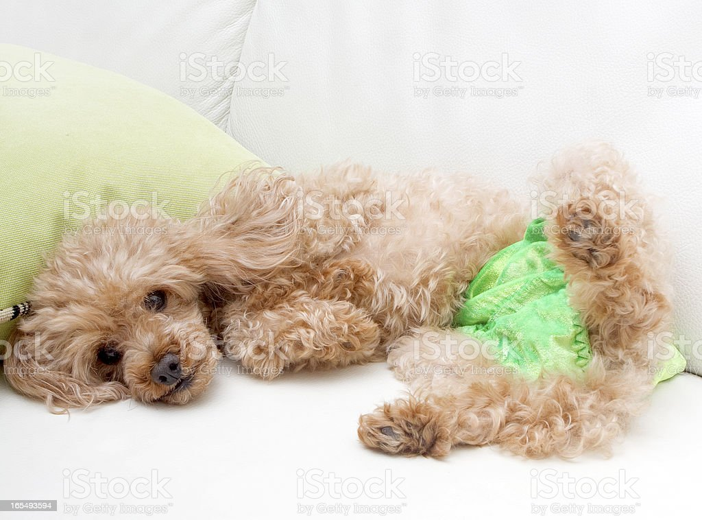 Reclining Poodle royalty-free stock photo