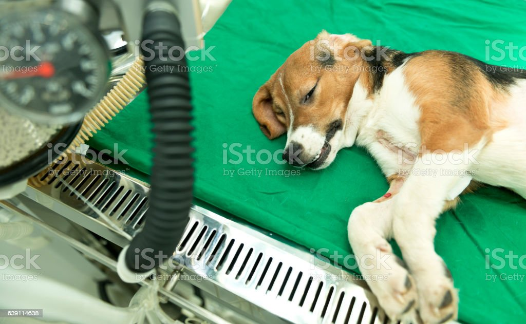 Recovering beagle dog on the operating table stock photo