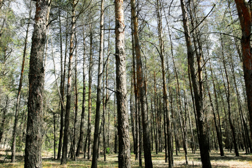 recovering withered pine forest after fire