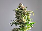 Recreational Marijuana Plant Bud Isolated White Background