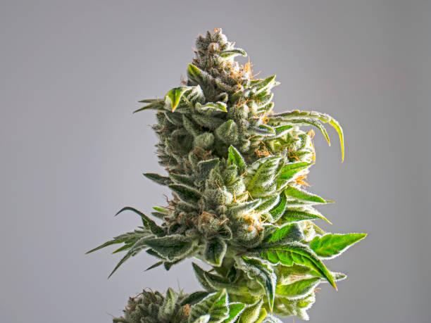 recreational marijuana near me