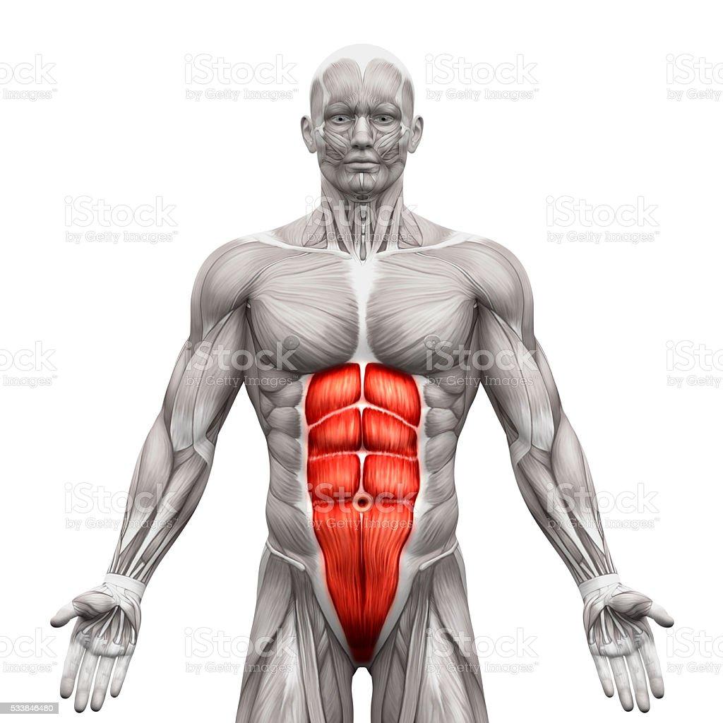 Fotografía de Recto Del Abdomen Intraabdominal Músculos De Anatomía ...