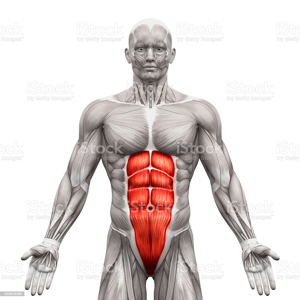 Rectus Abdominis - Abdominal Muscles - Anatomy Muscles isolated stock photo
