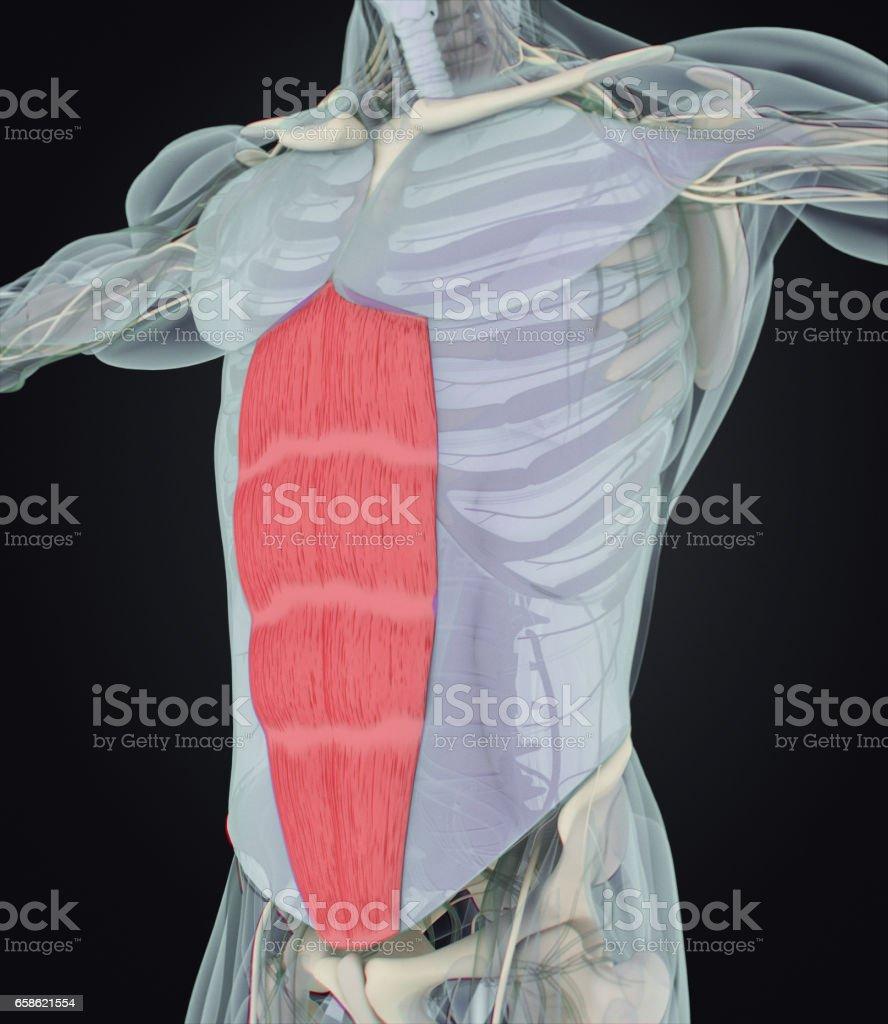 Fotografía de Abdominus Del Músculo Recto Los Músculos Del Estómago ...