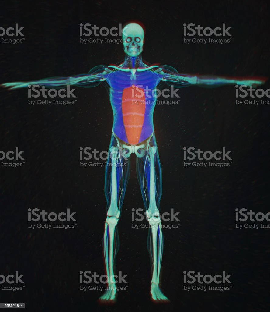 Rectus Abdominus Stomach Muscles Human Anatomy 3d Illustration Stock