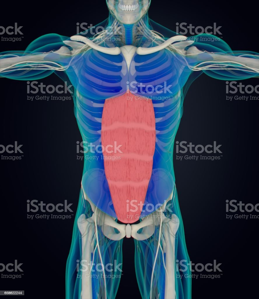 Rectus Abdominus Stomach Muscles Human Anatomy 3d Illustration Stock ...