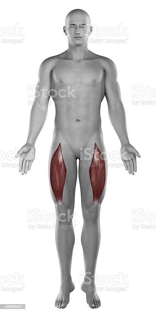 Gerade Oberschenkelmuskel Männliche Muskeln Anatomie Anterior ...
