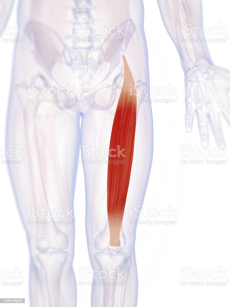 Gerade Oberschenkelmuskel Stock-Fotografie und mehr Bilder von ...