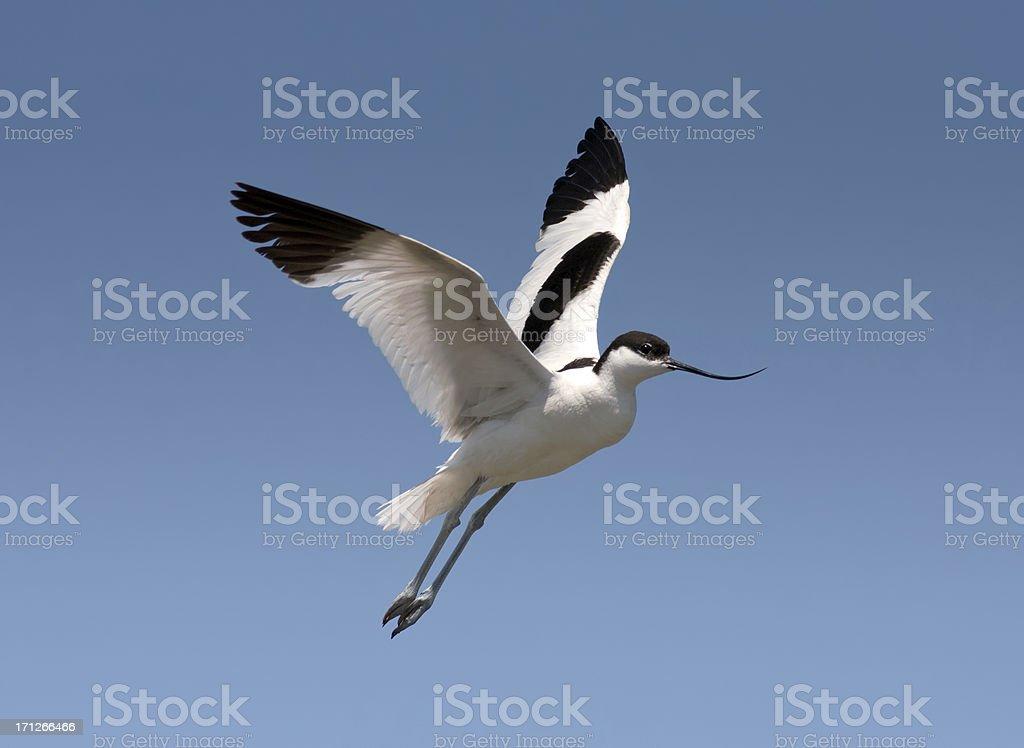 Recurvirostra avosetta - Avocet stock photo