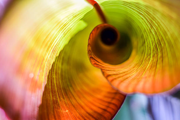 Red Abyssinian Banana Leaf Curl stock photo