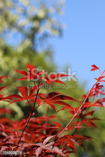 Beautiful deep red/ purple Japanese maple tree against bright blue sky. Focus is on the red leaves. Taken in June in England.