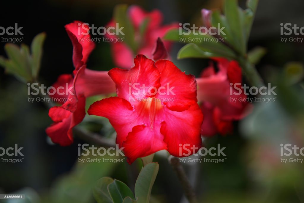 Red Adenium obesum tree, Desert Rose, Impala Lily stock photo
