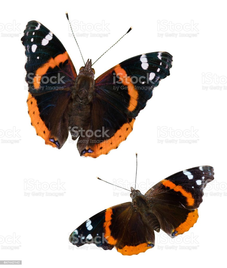 Red Admiral Butterflies stock photo