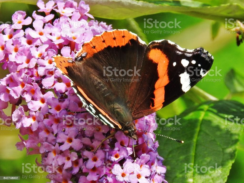 Red admiral butterfly a real stunner stock photo