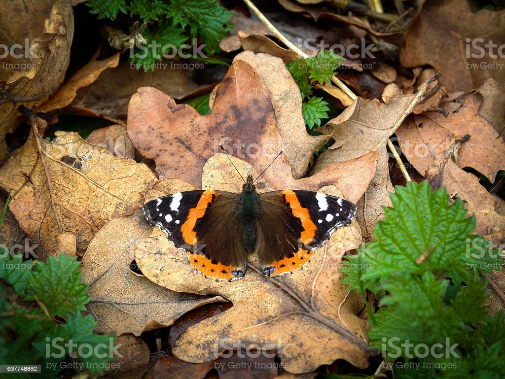 Red Admiral butterfly basking on dead leaves stock photo