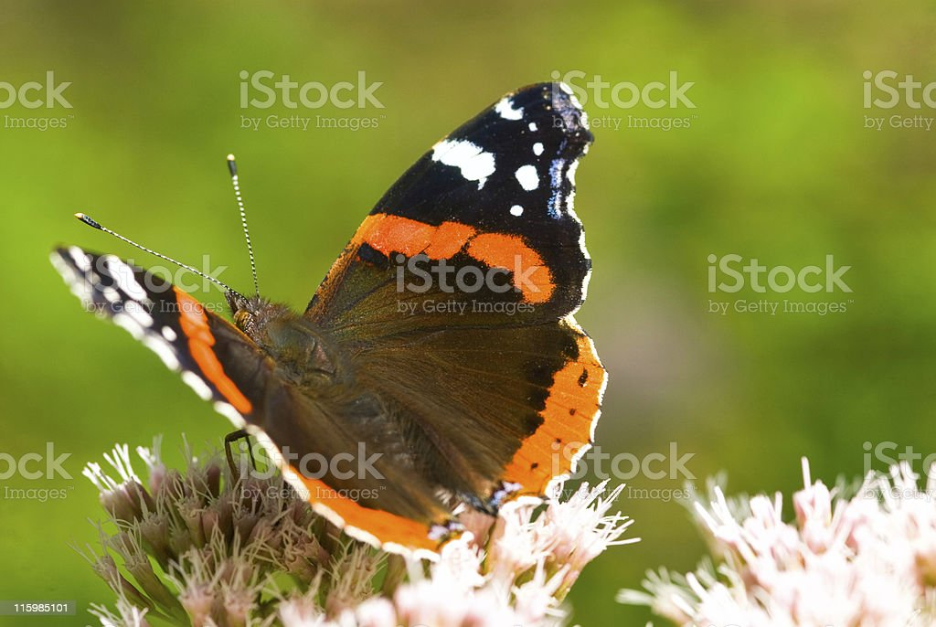 Red Admiral Butterfly close-up in pink flower 02 stock photo