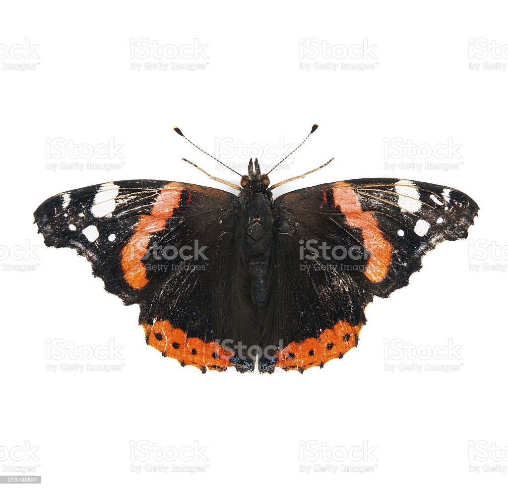 Red Admiral butterfly isolated on white background stock photo