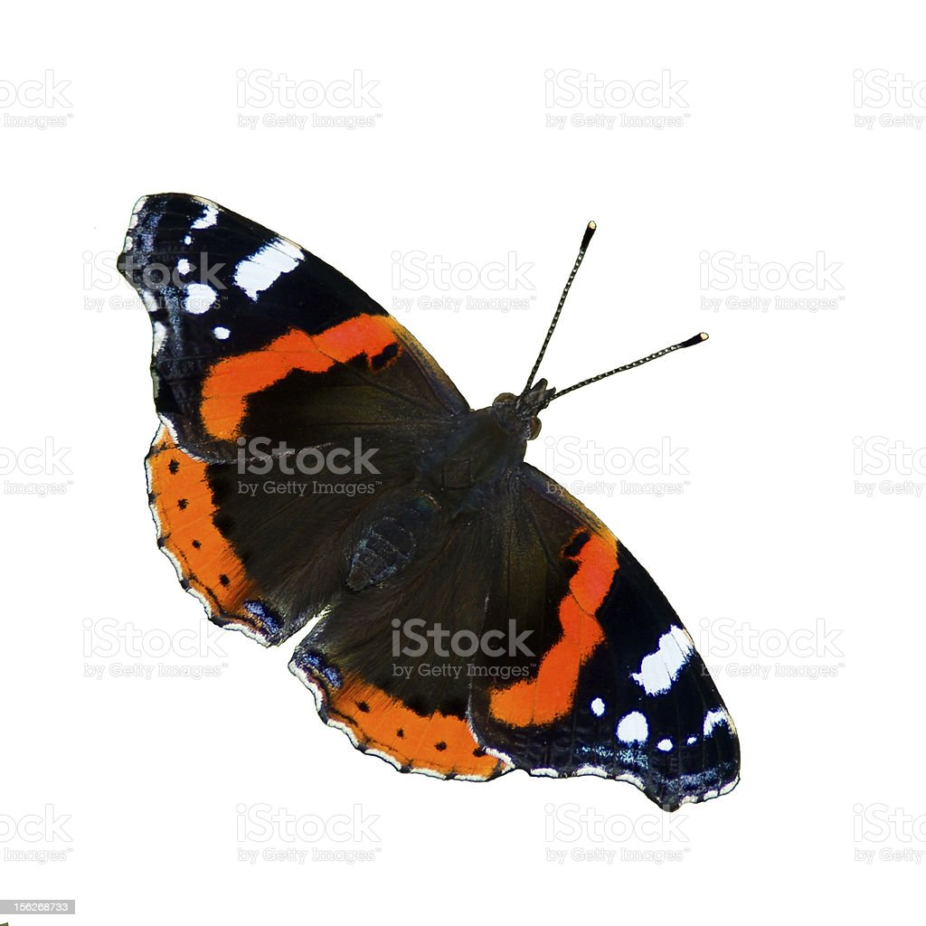 Red Admiral Butterfly (Vanessa Atalanta) isolated stock photo