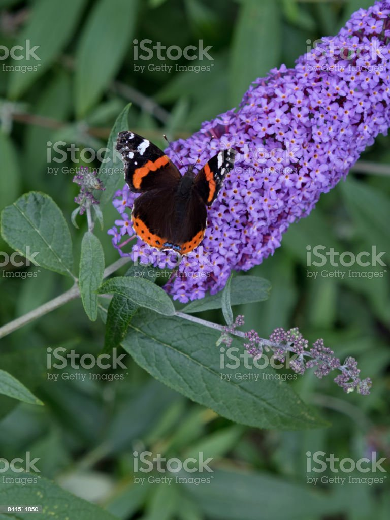 Red Admiral butterfly on a Buddleia flower stock photo