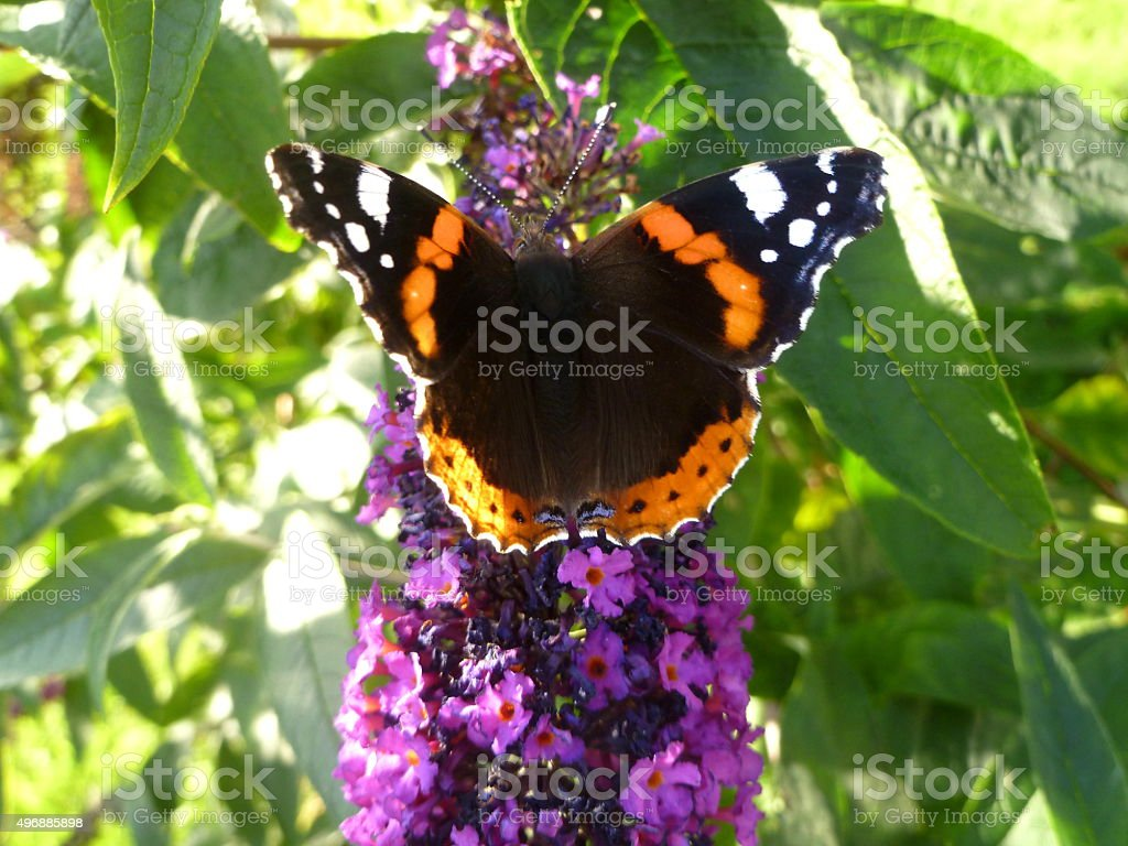Red Admiral Butterfly On Purple Buddleia Plant stock photo