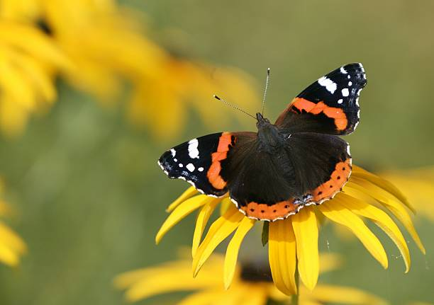 Red admiral butterfly on yellow flower picture id157284216?b=1&k=6&m=157284216&s=612x612&w=0&h=rwjoycyt6nho8a9nofpg76iejsqhpms6ricpvvrc tw=