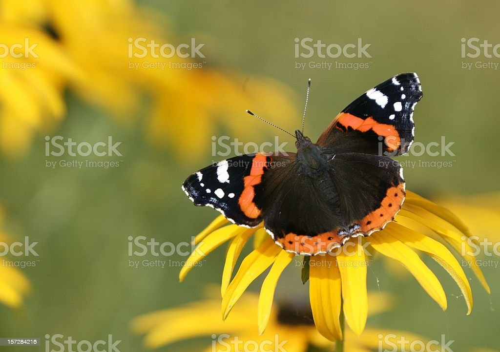 Red admiral butterfly on yellow flower stock photo