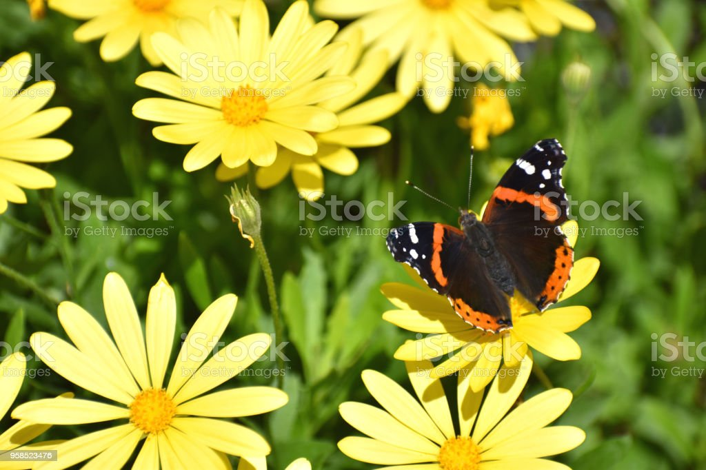 Red Admiral Butterfly on Yellow Flowers stock photo