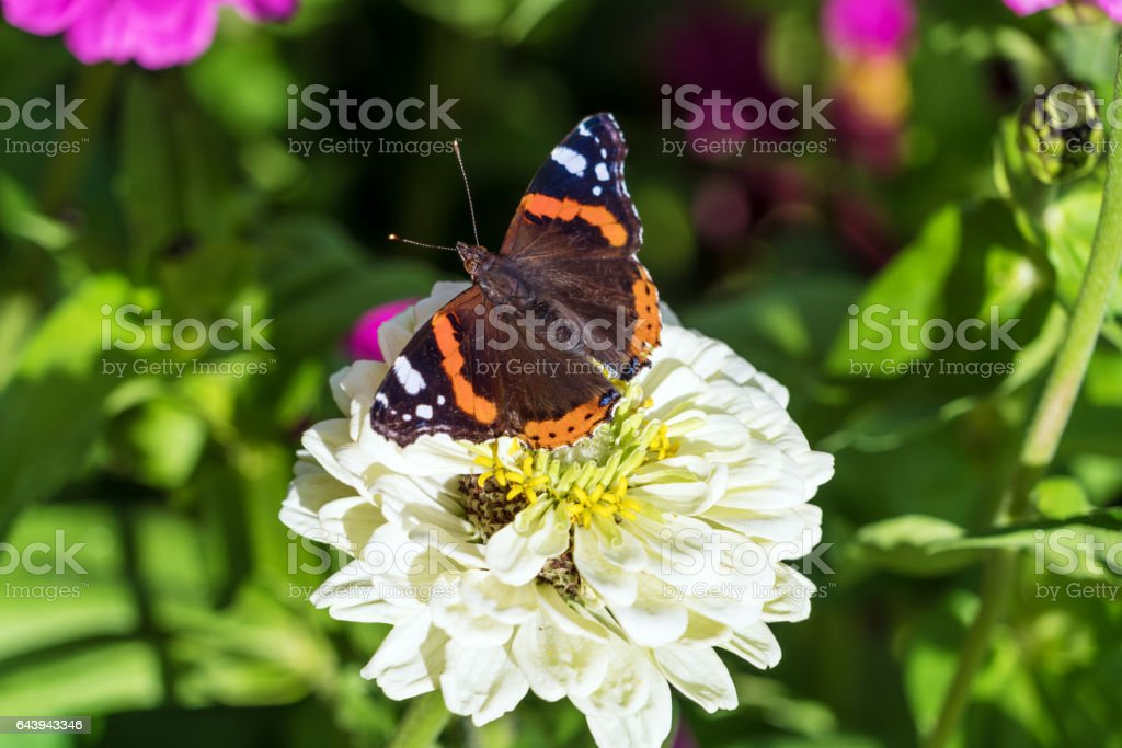 Red Admiral (Vanessa atalanta) butterfly on Zinnia elegans flowers stock photo