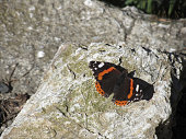 Red admiral butterfly or Vanessa atalanta resting on the rock with wings opened