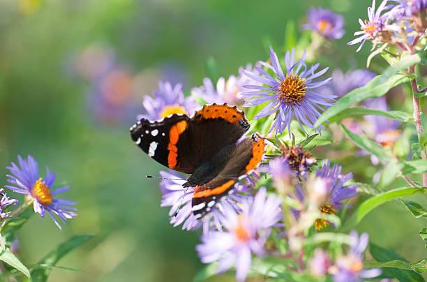 Red admiral butterfly picture id155140842?b=1&k=6&m=155140842&s=612x612&w=0&h=bbf9zefgubno3mdexmzp9yegzemz3flt4vmna 69qw8=