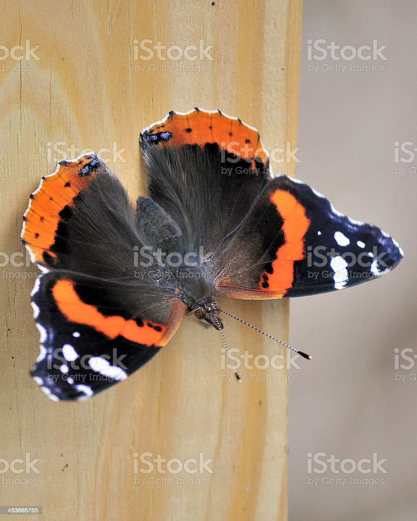 Red Admiral Butterfly royalty-free stock photo