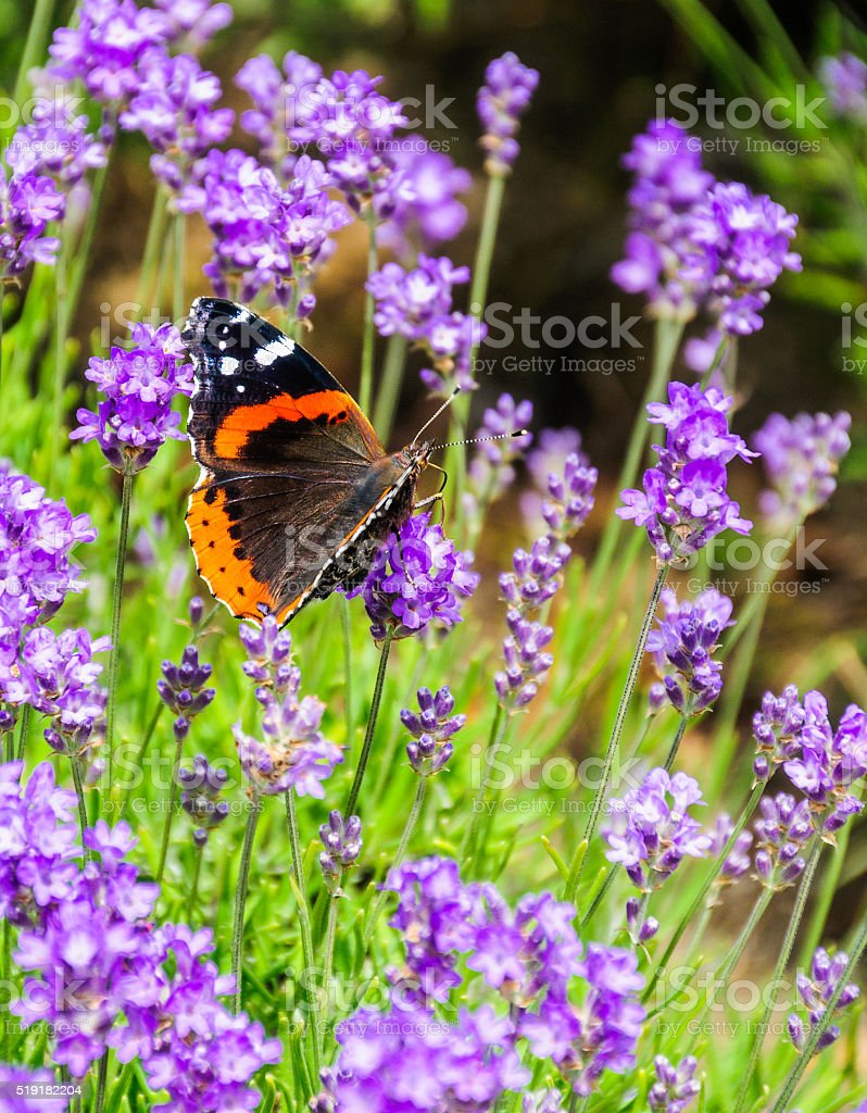 Red Admiral (Vanessa atalanta rubria) Butterfly stock photo