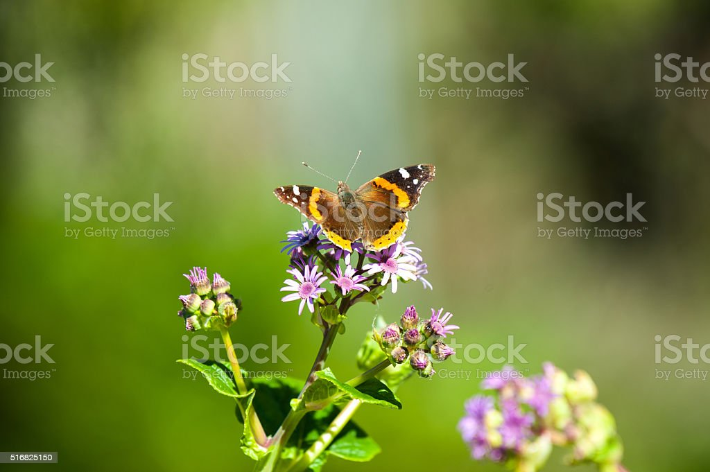 Red Admiral butterfly pollinating purple and lavender flowers stock photo