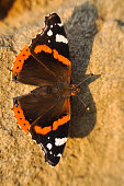 Vanessa atalanta or red admiral butterfly.