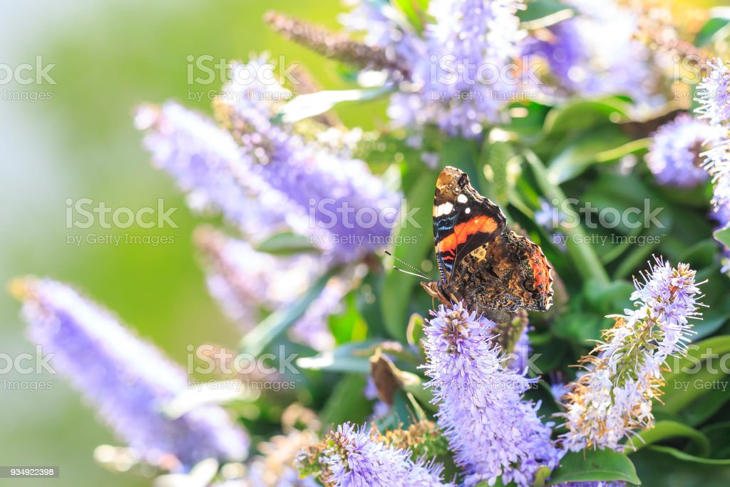 Red Admiral butterfly, Vanessa atalanta, feeding stock photo