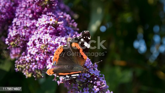 Red Admiral butterfly Vanessa atalanta on a Buddleja davidii in flower in late August in and English garden, United Kingdom