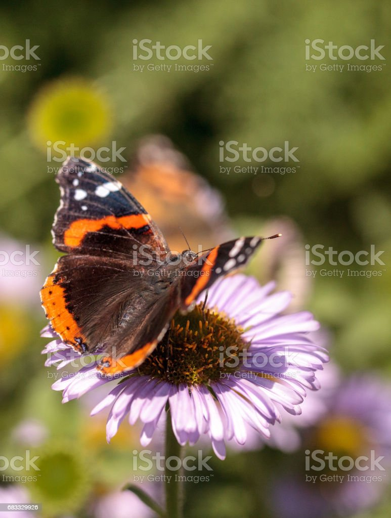 Red admiral butterfly, Vanessa atalanta foto stock royalty-free