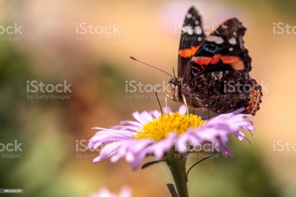 Red admiral butterfly, Vanessa atalanta royalty-free stock photo