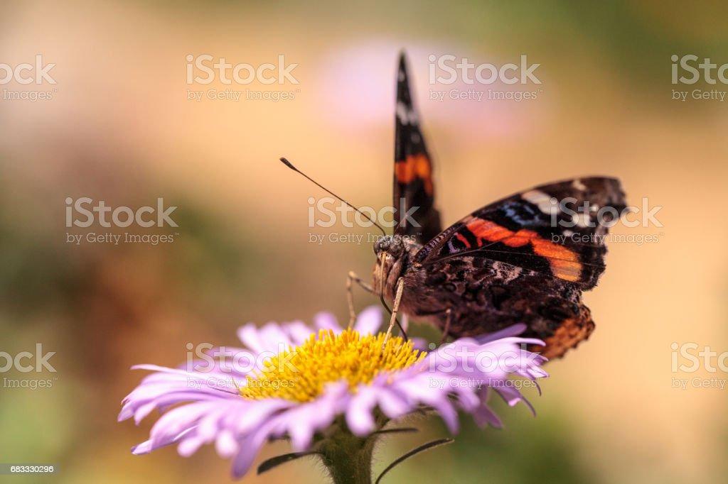 Red admiral butterfly, Vanessa atalanta royalty-free stock photo