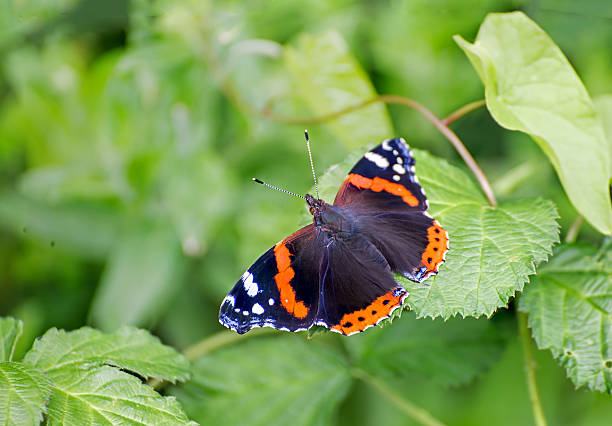 Red admiral – Foto