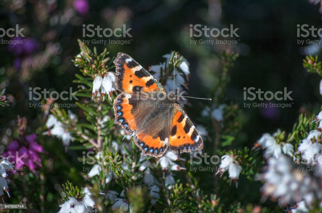 Red Admiral Resting on A Plant stock photo