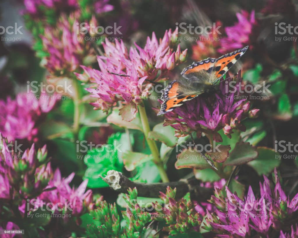 Red Admiral Resting stock photo