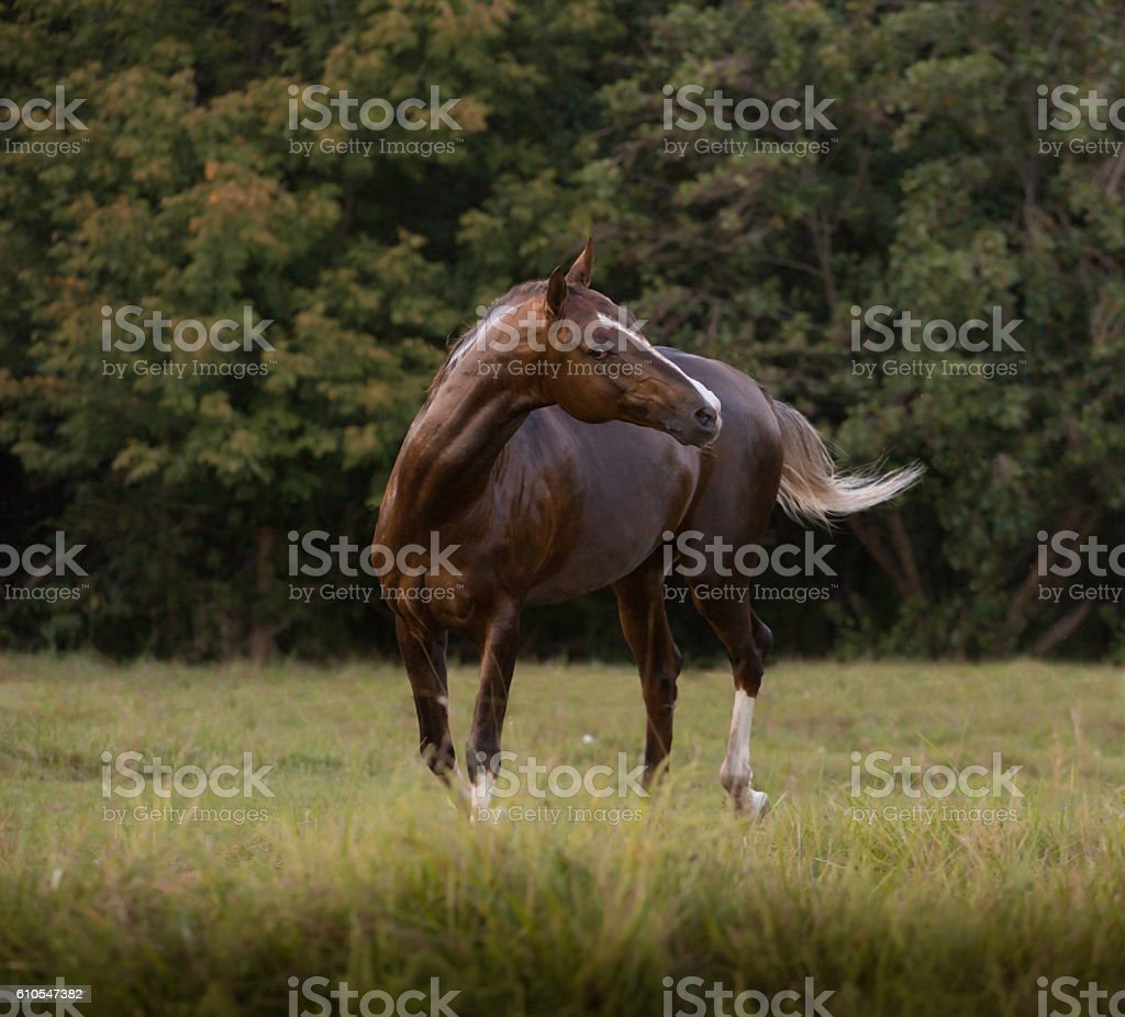 Red Akhal-Teke horse stays stock photo