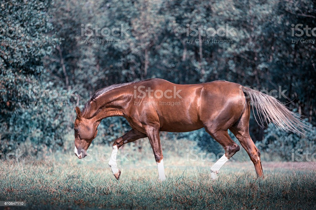 Red Akhal-Teke horse stepping stock photo